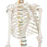 Anatomický model kostry so stojanom a plagátom